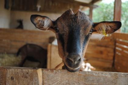 banon goat-001