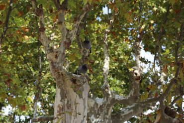 Cotignac Plane trees pigeons