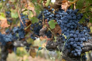 Harvest grapes on a vine