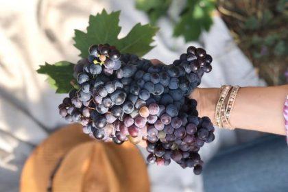 Provence Rosé Harvest Report 2018