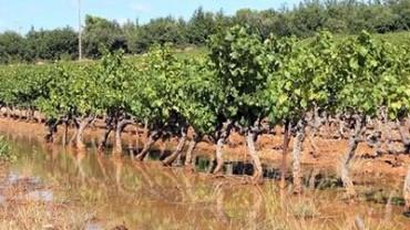 flooded-vineyards