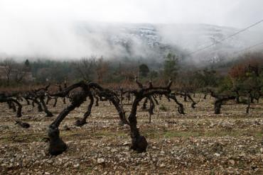 vines winter mist