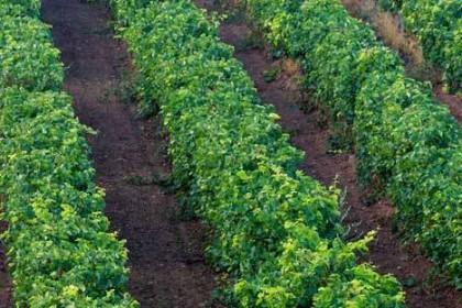 vineyard-in-rows
