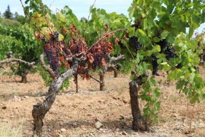water stress on vines (3)